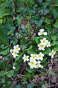 Spring and summer wildflowers Primroses, Primula vulgaris, with ivy nettles and cleavers Galium aparine in Cornwall