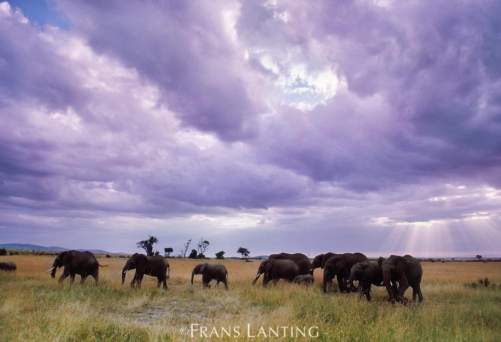 African elephants, Loxodonta africana, Masai Mara Reserve, Kenya