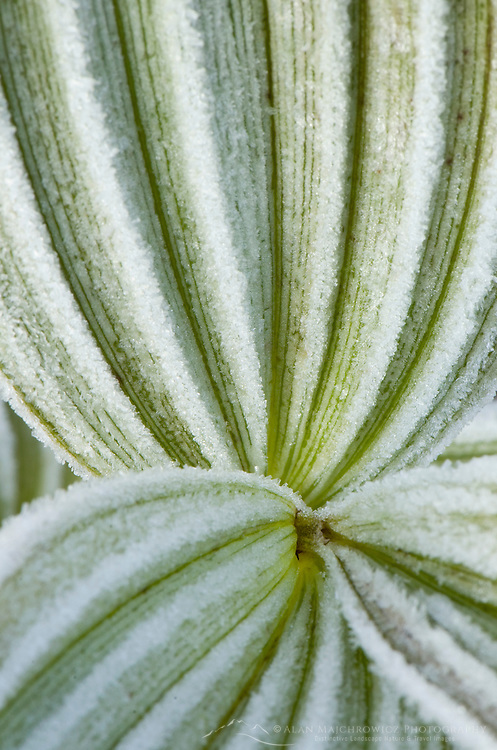 Frosted Corn Lily or False Helebore, North Cascades Washington