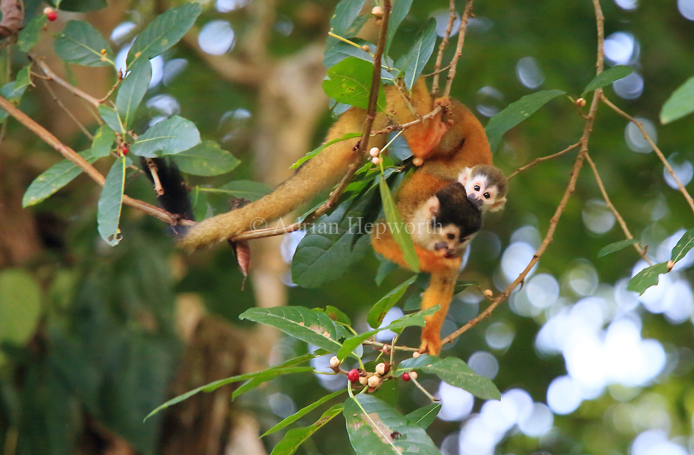 Squirrel Monkey (Saimiri oerstedii) with baby in rainforest, Corcovado National Park, Osa, Costa Rica. <br />