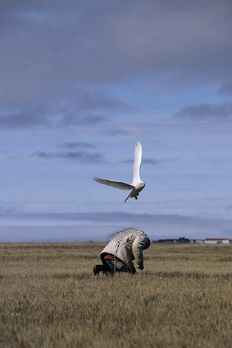 Snowy Owl, (Nyctea scandiaca) Denver Holt using noose carpet trap on jacket to catch male owl. Barrow, Alaska