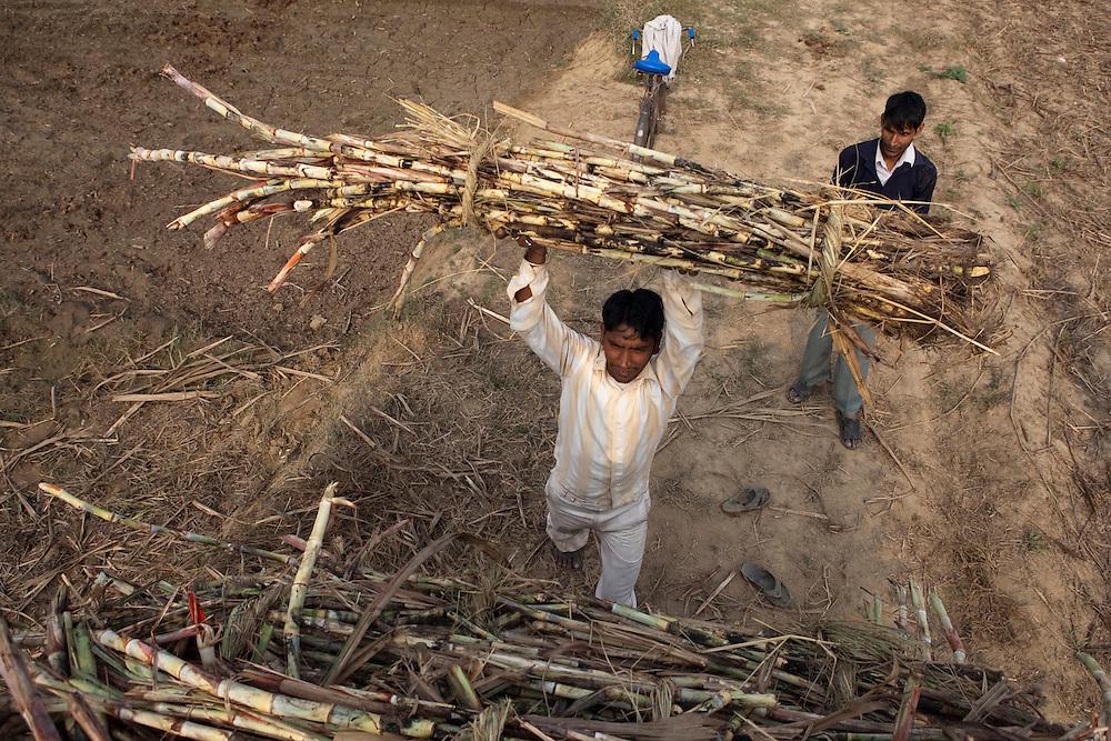 Farmers load  cut sugarcane stalks onto a buloock cart in the outskirts of Modi Nagar, in Uttarpradesh, India, on Friday, November 12, 2010. Photographer: Prashanth Vishwanathan/Bloomberg News