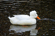 A White Crested Duck swims in the harbor of Camden, Maine.