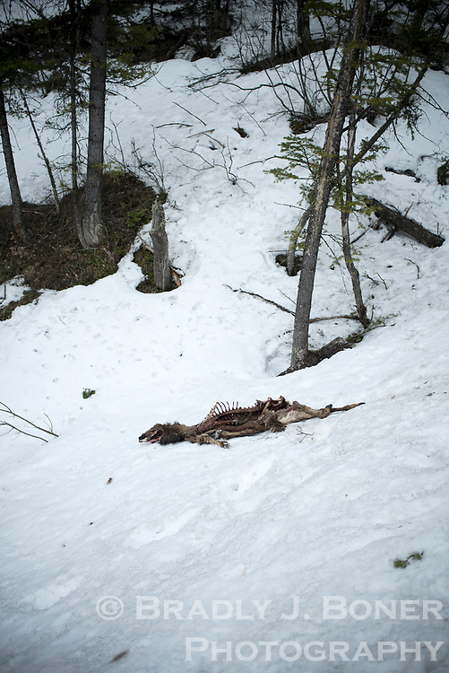 Winter-killed elk on Snow King Mountain