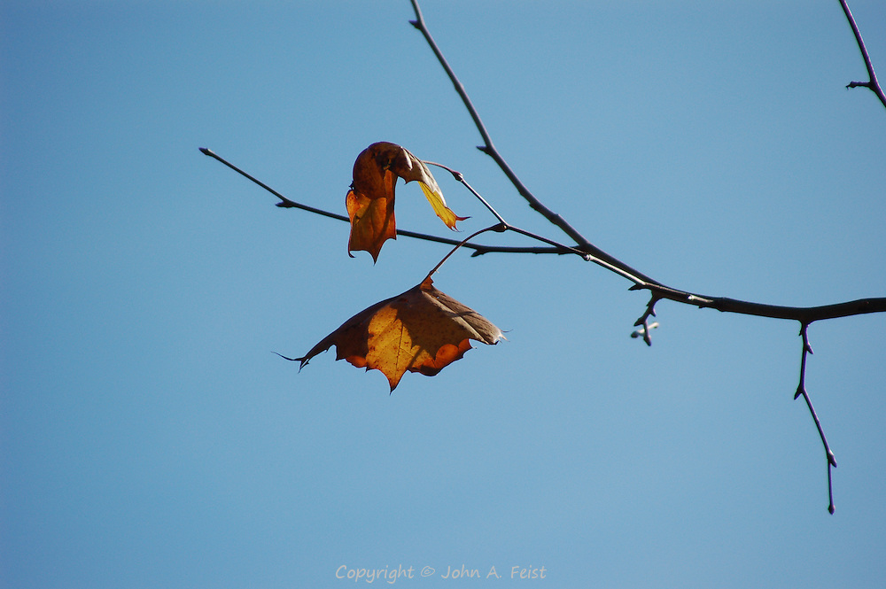 We were in Williamsburg for a very special occasion.  Saturday had been very cold and rainy.  On Sunday things changed and we were able to tour the restoration.  These last leaves were a perfect comment for the weekend.