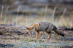 A close-up of a South American gray fox (Lycalopex griseus) , Patagonia, Torres del Paine, Chile, South America