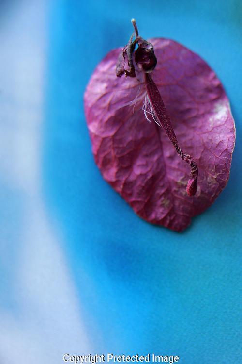A dried red desert leaf on blue.