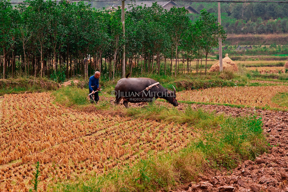 A man ploughs his field with a water buffalo.