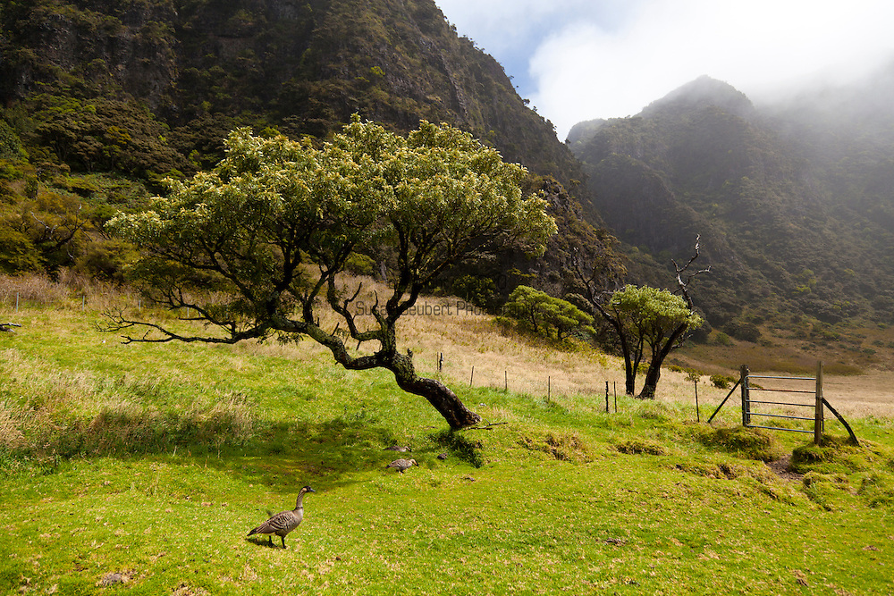 A nene, Hawaii's endemic goose, walking near the Paliku cabin in Haleakala National Park on the island of Maui, Hawaii, USA