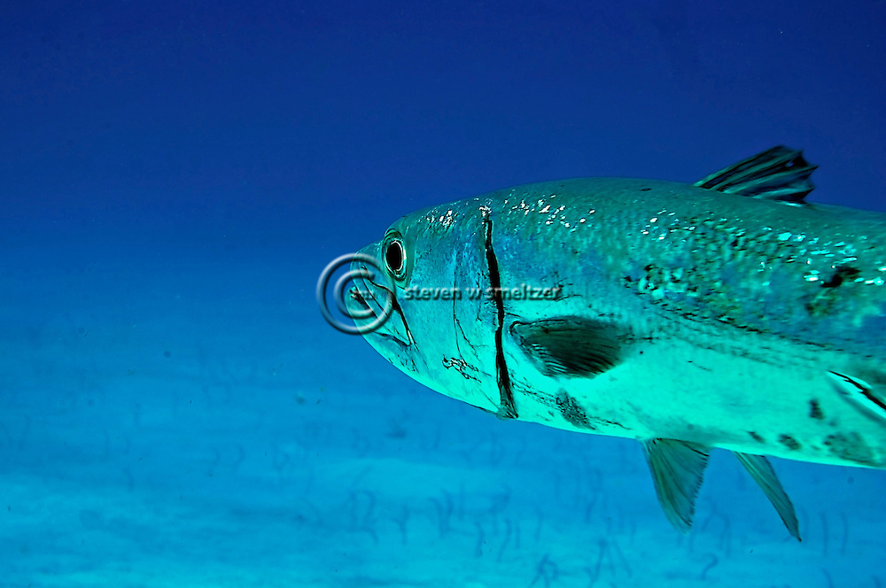 Barracuda Close up, Sphyraena barracuda, (Edwards in Catesby, 1771), Grand Cayman