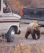 Alaska. Denali Road Lottery visitor photographing a Brown Bear (Ursus arctos), Denali Natl. Park.