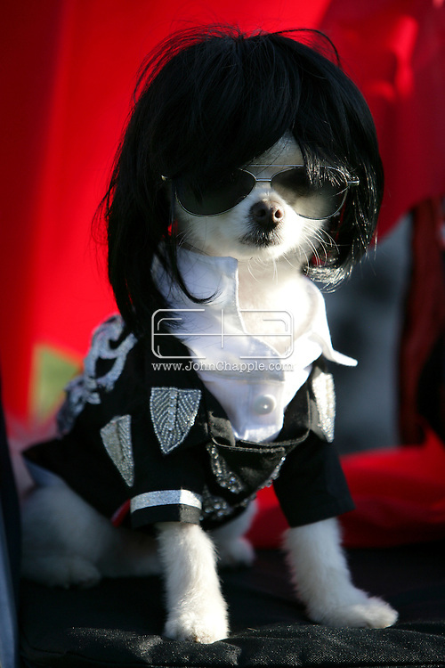 31st October 2009. Long Beach, California. The Haute Dog Howl'oween Parade in Long Beach. Pictured is Bobby Gorgeous the white Pomeranian, dressed as Michael Jackson. PHOTO © JOHN CHAPPLE / www.chapple.biz.john@chapple.biz  (001) 310 570 9100.