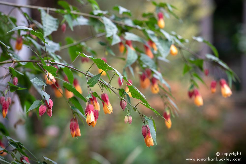 Abutilon × milleri hort. AGM. Miller abutilon. Abutilon pictum 'Milleri'