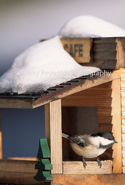 Black-Capped Chickadee, Chickadee, Winter, snow, bird house, Bird Feeder