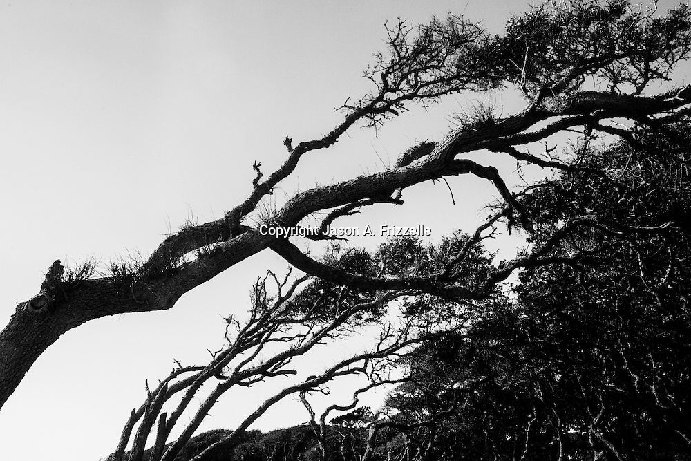 Along the coastline of Ft. Fisher State Park in North Carolina you'll find the remnants of a Live Oak and Yaupon forest. According to ncparks.gov, these visibly twisted trees are salt-tolerant, growing to no more than 30 feet and shaped by wind and sea spray.