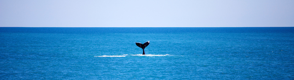 Whales around James Price Point, taken from the 'Steve Irwin' on Operation Kimberley Miinimbi with Seashepherd.