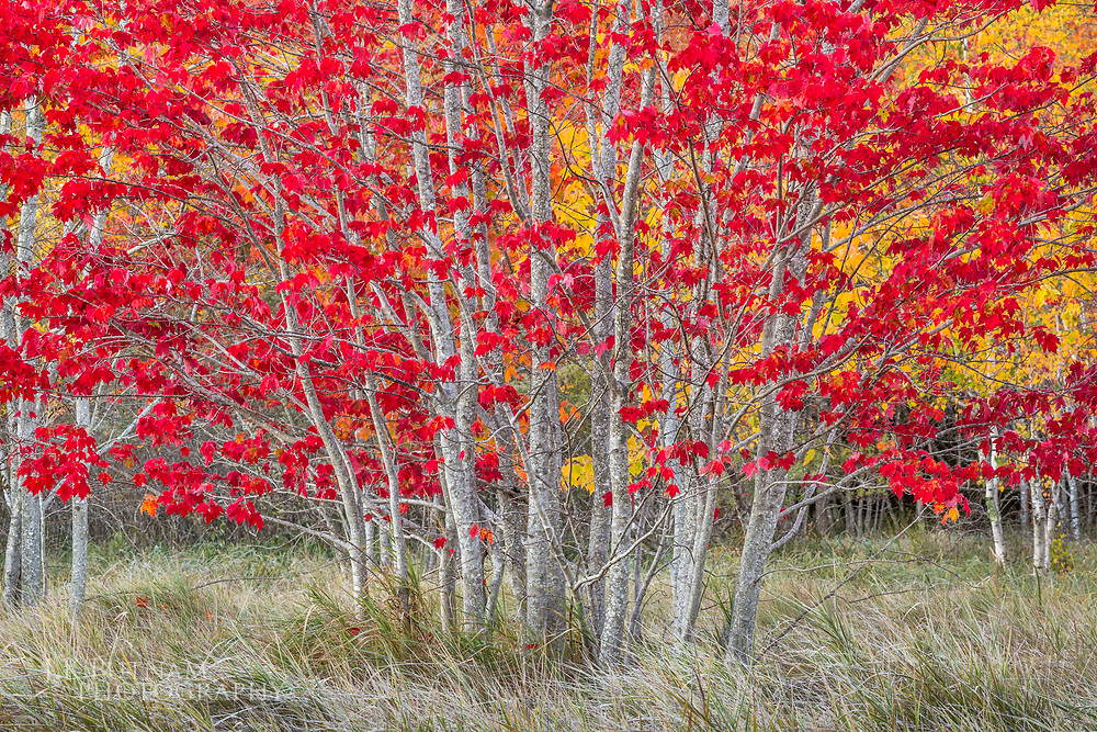 A small grove of maple trees bursting red with color in fall in Acadia National Park, Mount Desert Island, Maine.