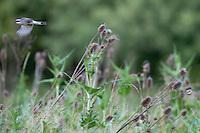 Red backed shrike (Lanius collurio), Codrii forest Reserve, central Moldova