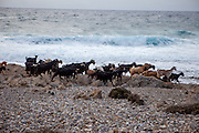 "Cretan goats at the Lybian Sea Coast in Agia Kyriaki close to Palaiochora which is a small town in Chania regional unit on the island of Crete, Greece. The Kri-kri (also called the ""Cretan goat"", ""Cretan Ibex,"" or ""Agrimi"") was previously considered a subspecies of wild goat but has recently been identified as a feral variety of the domestic goat. The Kri-kri is now found only on the island of Crete, Greece and three small islands just offshore."