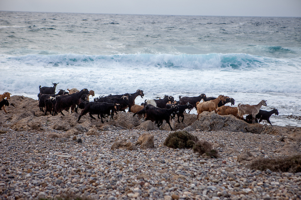 """Cretan goats at the Lybian Sea Coast in Agia Kyriaki close to Palaiochora which is a small town in Chania regional unit on the island of Crete, Greece. The Kri-kri (also called the """"Cretan goat"""", """"Cretan Ibex,"""" or """"Agrimi"""") was previously considered a subspecies of wild goat but has recently been identified as a feral variety of the domestic goat. The Kri-kri is now found only on the island of Crete, Greece and three small islands just offshore."""
