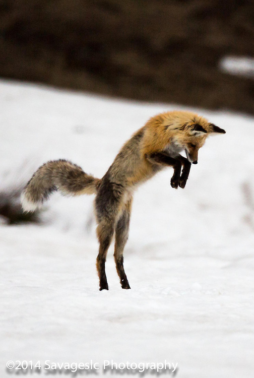 Red fox prepares for the pounce.