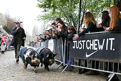 © Licensed to London News Pictures. 07/04/2019. London, UK. Two pigs race before the Oxford v Cambridge Goat Race.<br /> Goats compete during the Oxford and Cambridge Goat Race at Spitalfields City Farm, Bethnal Green in East London. The annual fundraising event, which takes place at the same time as the Oxford and Cambridge boat race, where two goats, one named 'Oxford', the other 'Cambridge' to be crowned King Billy. Photo credit: Dinendra Haria/LNP
