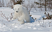 Polar bear cub (Ursus maritimus) playing in the snow, Churchill, Manitoba, Canada.