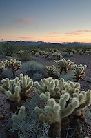 Sonoran Desert sunset with Teddy Bear Cholla cactus (Cylindropuntia bigelovii), Kofa Mountains Wildlife Refuge Arizona