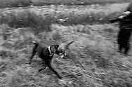An partridge has been shoot and fetched by the dog during a hunting  in the countryside of the Danish island Funen on sunday  17. November 2002.  Photo: Erik Luntang