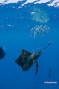 Atlantic sailfish, Istiophorus albicans, bills a sardine that it has knocked out of a bait ball of Spanish sardines (aka gilt sardine, pilchard, or round sardinella ), Sardinella aurita, off Yucatan Peninsula, Mexico ( Caribbean Sea ) #2 in sequence of 3 images
