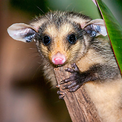 """Gambá-de-orelha-preta (Didelphis aurita) fotografado em Pedra Azul, Espírito Santo -  Sudeste do Brasil. Bioma Mata Atlântica. Registro feito em 2014.<br /> <br /> <br /> <br /> ENGLISH: Big-eared opossum photographed in Pedra Azul, Espírito Santo - Southeast of Brazil. Atlantic Forest Biome. Picture made in 2014."""