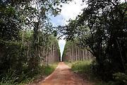 Small strip of bushland squeezed by  eucalyptus plantation near Mucuri town, Bahia State - Brazil.<br /> <br /> Pequena faixa de mata nativa espremida pela plantação de eucaliptos próximo a Mucuri, Bahia - Brasil.