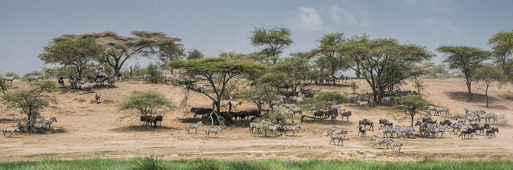 Zebra and Wildebeest begin to gather for the Great Migration, Ndutu, Tanzania