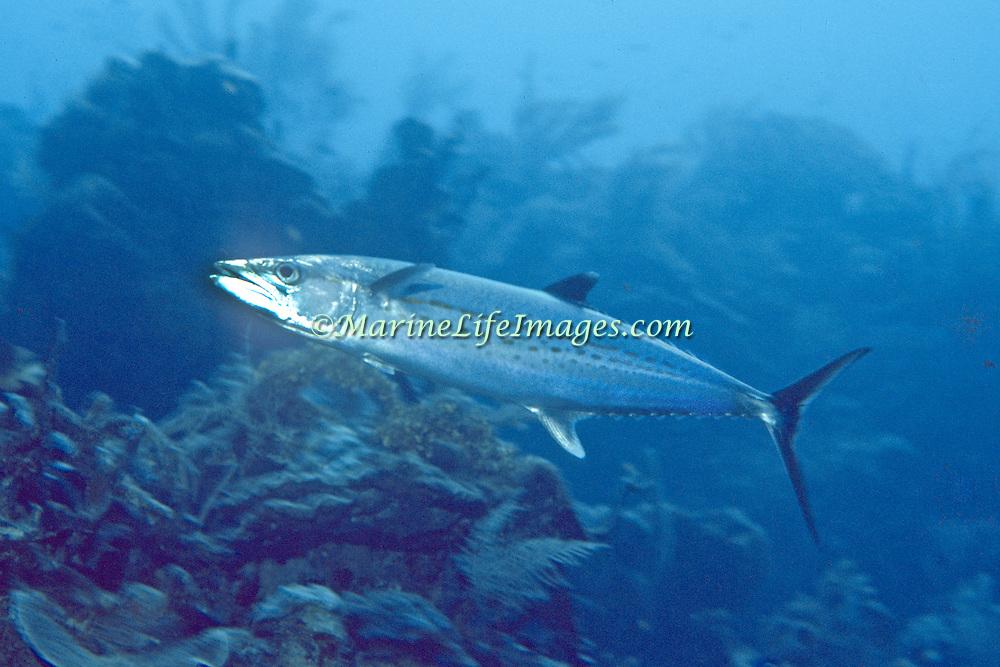 Cero inhabit open water, often swim over reefs, in Tropical West Atlantic; picture taken Cayman.