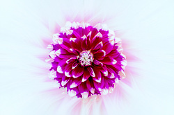 A Purple and Fuchsia Dahlia Flower with White Tips