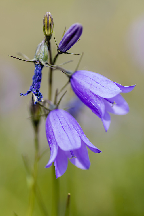 Common Harebell (Campanula rotundifolia) at Bodenburg Butte in Southcentral Alaska. Summer. Afternoon.