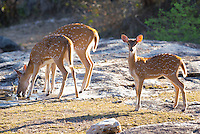 Chital or Spotted Deer (Axis axis) in Yala National Park, Sri Lanka