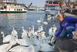 © Licensed to London News Pictures. 17/03/2016. Windsor, UK. A visitor to Windsor feeds the swans on the River Thames in spring sunshine. Photo credit: Peter Macdiarmid/LNP