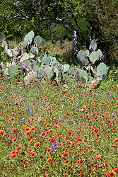 Blanket flower (Gaillardia aristata), along with a smattering of Texas Bluebonnets (Lupinus texensis) and spiney cactus, covers roadsides and fields along FM (Farm-to-Market) Road 2341, which borders Lake Buchanan in the Highland Lakes area of Central Texas.