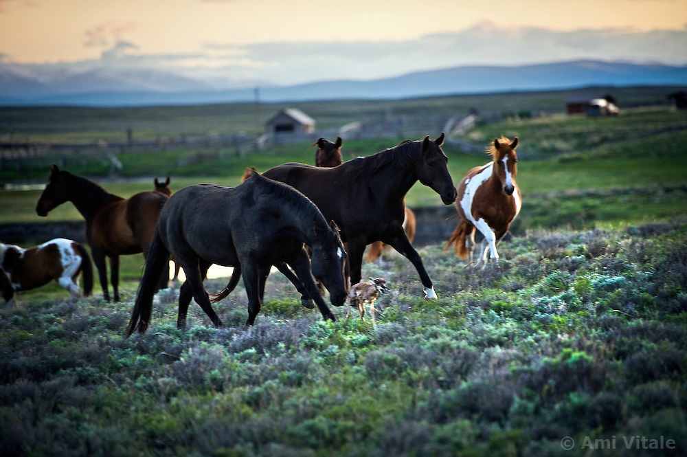 Horses graze in the summer pastures of the Centennial Valley of Southwestern Montana in June 2012. Now, spurred by growing consumer concern over meat's environmental impact and concerned about the long-term viability of their livelihood, a cohort of ranchers is trying to apply the understanding gleaned from the science of ecology to livestock management. .