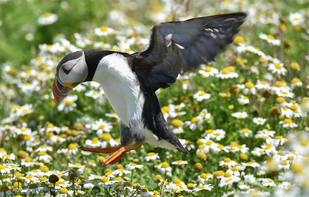 A puffin in flight
