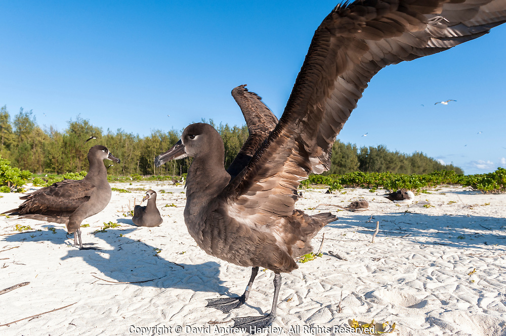 A Black-footed Albatross (Phoebastria nigripes) stretches its wings on the old runway on Sand Island. Midway Atoll National Wildlife Refuge.