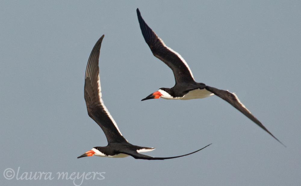 Two black Skimmers in flight against blue sky photographed at Nickerson Beach in Nassau County, New York.
