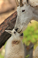Rocky Mountain Goat, adult female (nanny) interacts with a young of the year kid.