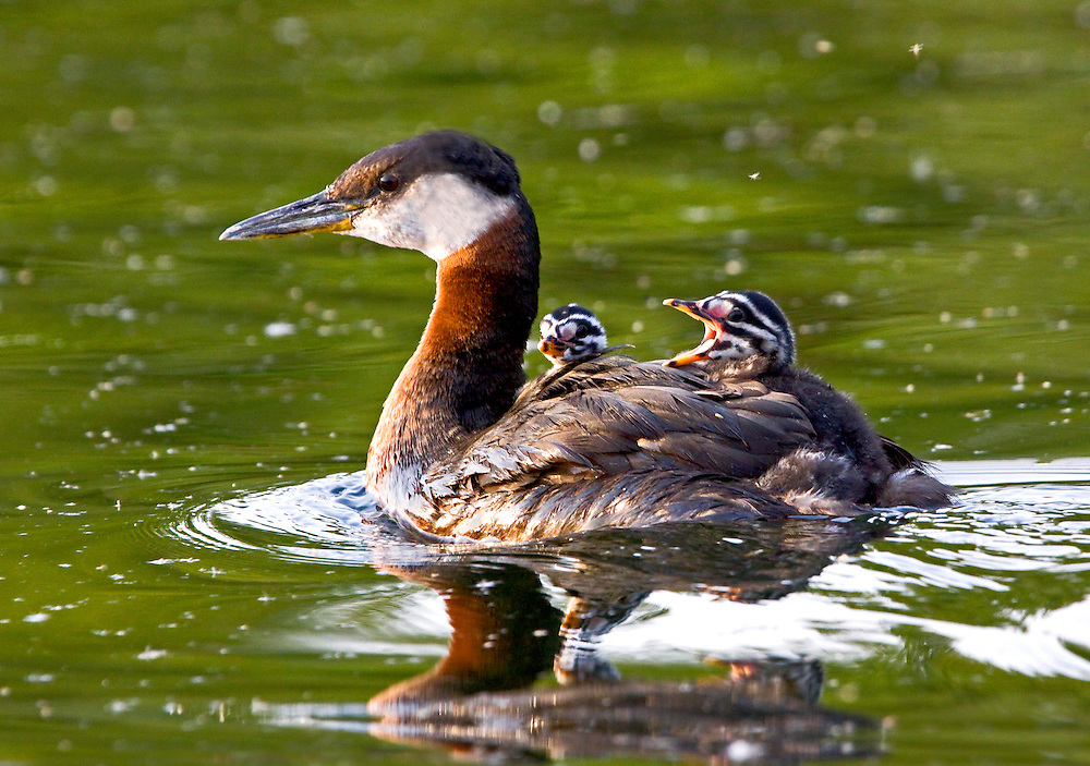 Alaska. Red-necked Grebe (Podiceps grisegena) and chicks enjoying the ride on a southcentraol lake.