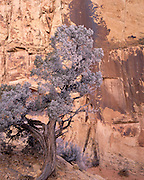Juniper, Juniper Tree, Ice, Frost, Desert Canyon, Desert, Canyon, Sandstone, Rock, Red, Cliffs, Winter, Snow, Capitol Reef, Capitol Reef National Park, Utah