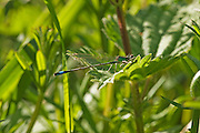 Immature Male Blue-tailed Damselfly on a leaf. The secondary genitalia are clearly shown at the front of the abdomen on the underside.