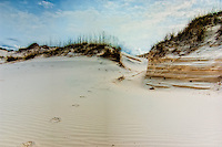 Evidence of a running bobcat on North Florida's St. Joseph Peninsula on the Gulf Coast. Here, there is a large population of these native wildcats, as well as a huge variety of resident and migratory birds. Some of the area's most endangered rodents found here burrow into these rare dunes for shelter, as you can see here.