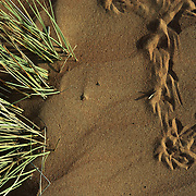 Oman, Wahiba Sands. January/26/2008...Desert details; tracks and grass..