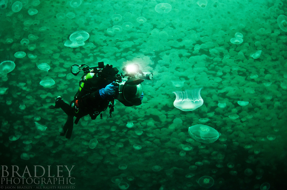 With a backdrop of a giant jelly smack, a scuba diver captures a photo of a single jellyfish,  shot at Deep Pass on the East side of Baranoff Island in Southeast Alaska; shot with ambient light only at ISO 3200